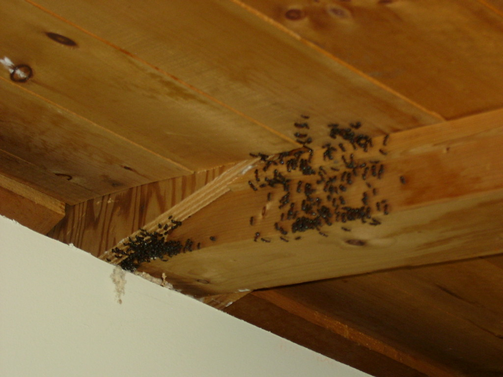 Carpenter Ants on Cottage Ceiling