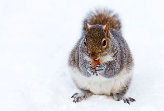 Picture of Squirrel for Pest Prevention Tips