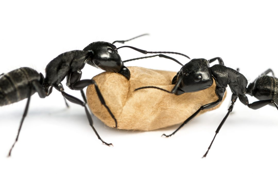 Important Facts about Carpenter Ants